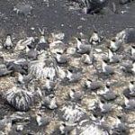 絶滅危惧オオアジサシ、西之島で集団繁殖 噴火経て復活:朝日新聞デジタル