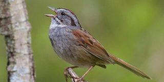 ヒット曲はますますヒット、鳥で判明、最新研究 | ナショナルジオグラフィック