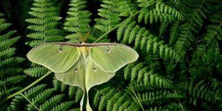 コウモリを錯覚させて逃げるガ、進化の謎を解明 | ナショナルジオグラフィック