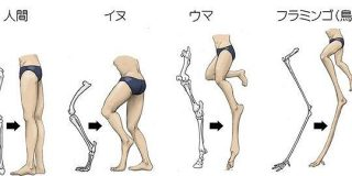 動物の足で足首を膝と誤解することがよくある為、人間の足を他の動物の足の骨ベースに描いたイラストがキモ分かりやすいと話題に - Togetter