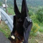 フィリピンオオコウモリがデカすぎて怖い!「翼幅2m程度」「でもフルーツが主食」のほか「ルルーシュでは」の声 – Togetter