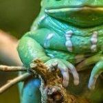 モルヒネの40倍の鎮痛作用を持つ油を分泌するという「ソバージュネコメガエル」さん、見た目のインパクトがすごい – Togetter