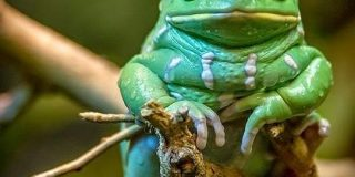 モルヒネの40倍の鎮痛作用を持つ油を分泌するという「ソバージュネコメガエル」さん、見た目のインパクトがすごい - Togetter