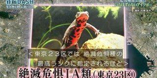 新宿DASHのハート池に絶滅危惧IA類のアカハライモリが生息!→視聴者「あーはいはい、また絶滅危惧種ね」 #鉄腕DASH - Togetter