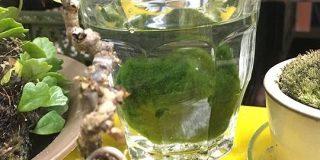 6年もの間 水を換え続けてきた藻の正体が判明して泣いた「どんまい(涙)」経験者および慰めの声 - Togetter