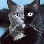 フランスのかっこいい模様の猫さんの画像にびっくり!不思議な魅力が伝わってくる「この子も三毛猫っていう括りに入るのか」 – Togetter