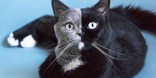 フランスのかっこいい模様の猫さんの画像にびっくり!不思議な魅力が伝わってくる「この子も三毛猫っていう括りに入るのか」 - Togetter