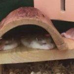 「こんなにとろける」なぜ、ハムスターは寝るとパンケーキみたいにフラットになるのか – Togetter