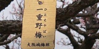 大阪城公園の梅林ですっぴんで慌てるギャルみたいな梅の木を見つけた「一重まぶたになんの恨みが…」 - Togetter