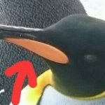 キングペンギンのくちばしに関する衝撃の事実にペンギン好きな人もびっくり「えええ!? どういうこと!?」 – Togetter