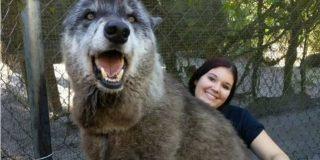 【画像あり】犬と思って育てたら巨大な狼だった!これもうモンスターだろ|暇人速報