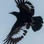 飛んでいるカラスの羽根をよく見てみたらびっくり「模様かと思ったら違った」「透けてる!」 – Togetter