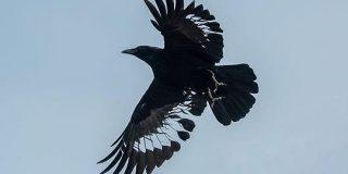 飛んでいるカラスの羽根をよく見てみたらびっくり「模様かと思ったら違った」「透けてる!」 - Togetter