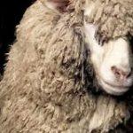 イケメン羊が米津玄師に似ているというので画像検索してみたら思ってたよりもだいぶ似ていた「羊メェ津玄師」 – Togetter