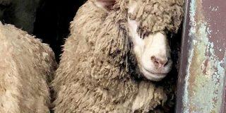 イケメン羊が米津玄師に似ているというので画像検索してみたら思ってたよりもだいぶ似ていた「羊メェ津玄師」 - Togetter