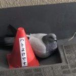 「ハトよけです」と書かれたコーンの横に堂々と座る鳩がシュールすぎる「この鳩さてはボケてるな」「避けるどころか寄り添ってる」 – Togetter