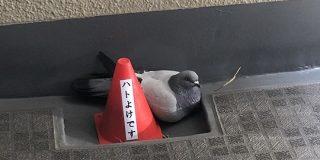 「ハトよけです」と書かれたコーンの横に堂々と座る鳩がシュールすぎる「この鳩さてはボケてるな」「避けるどころか寄り添ってる」 - Togetter