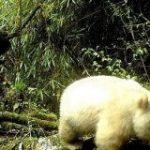 非常に珍しい真っ白なパンダ、中国でカメラに捉えられる|AFPBB