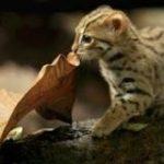 【動画あり】世界一小さい猫が可愛すぎるんやが|暇人速報