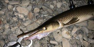 【タマゾン川】多摩川でガーが釣れた - Togetter