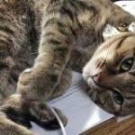 勉強していると必ず邪魔しにくる猫さんのとびっきりあざとい仕草を見てほしい「気を引く仕草!」 – Togetter