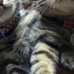 イエベとブルベ?キジトラだけど色味が違う猫さんが並んだ画像がどちらもめちゃくちゃかわいい「お腹に顔埋めたい」 – Togetter