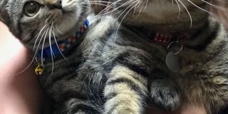 イエベとブルベ?キジトラだけど色味が違う猫さんが並んだ画像がどちらもめちゃくちゃかわいい「お腹に顔埋めたい」 - Togetter