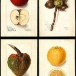 【パブリックドメイン】100年以上前の果物、フルーツの水彩イラスト7500枚を無料ダウンロードできる – PhotoshopVIP