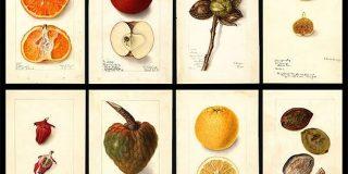 【パブリックドメイン】100年以上前の果物、フルーツの水彩イラスト7500枚を無料ダウンロードできる - PhotoshopVIP