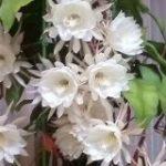 お母さんが育てた月下美人が18輪同時開花で一同仰天「スゴ過ぎて震える」「綺麗だし食べられるし」 – Togetter