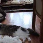 暑さでダレていたのに「ごはん」と言った瞬間、鬼反応する猫さん達をご覧ください「芝居じみた夏バテ」「人語を理解していることが証明された」 – Togetter