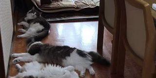 暑さでダレていたのに「ごはん」と言った瞬間、鬼反応する猫さん達をご覧ください「芝居じみた夏バテ」「人語を理解していることが証明された」 - Togetter