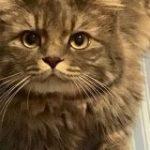 冷房つきの快適なおうちで過ごした猫さん、夏なのにフサフサの冬毛になられる「ウチもなんかそんな気がします」 – Togetter