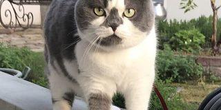 「うちの猫の体型なんか違くない?」太ってるわけじゃないのに『もっしり』としている猫さんが愛らしい - Togetter