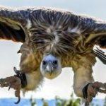 1日に400kmも飛ぶことができるハゲワシが国境を決して越えない理由とは? – GIGAZINE