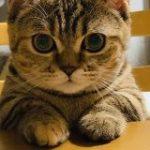 猫さん『ご飯が出てくるのをいい子で待ってます!』お利口そうな雰囲気だがそこは猫さんの席ではない「とても真っ直ぐな瞳」 – Togetter