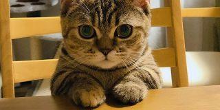 猫さん『ご飯が出てくるのをいい子で待ってます!』お利口そうな雰囲気だがそこは猫さんの席ではない「とても真っ直ぐな瞳」 - Togetter