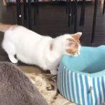 とある猫カフェに住むマンチカンさんのベッドへの入り方が斬新「手慣れてらっしゃる」「賢くて無駄がない」 – Togetter
