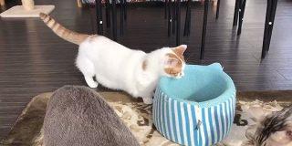 とある猫カフェに住むマンチカンさんのベッドへの入り方が斬新「手慣れてらっしゃる」「賢くて無駄がない」 - Togetter