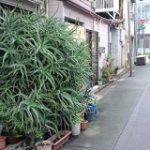 東京の下町、いろんなところでアロエが繁殖しすぎて大爆発してるのに誰も気に留めてないのがウケる→繁殖の理由も – Togetter