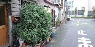 東京の下町、いろんなところでアロエが繁殖しすぎて大爆発してるのに誰も気に留めてないのがウケる→繁殖の理由も - Togetter