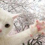 花見自粛→猫さん「私の足の裏は桜よりもっとピンクだ」「うるせぇ肉球でも見てろ」全国で肉球桜が一斉開花? – Togetter