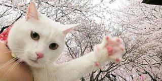 花見自粛→猫さん「私の足の裏は桜よりもっとピンクだ」「うるせぇ肉球でも見てろ」全国で肉球桜が一斉開花? - Togetter