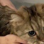 お風呂が嫌すぎた猫さん『ぬこー!』と抗議 全力拒否しても洗われる切なさと可愛さ「想像以上にぬこーだった…」 – Togetter