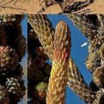 ナミビアで新しい植物の『科』を発見!特殊過ぎて既存の分類には収まらない衝撃「まだまだ地球にはオラたちの知んねぇことがいっぺぇあんだな!」 – Togetter