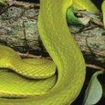 新種の毒蛇がハリー・ポッターにちなんで「スリザリン」と名付けられる – GIGAZINE