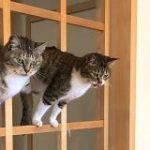 障子を張り替えるつもりだったのに和風ジャングルジムをいたく気に入ってしまったお猫様「先延ばしにした」 – Togetter