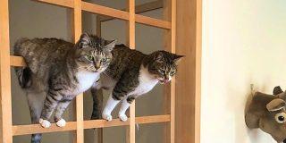 障子を張り替えるつもりだったのに和風ジャングルジムをいたく気に入ってしまったお猫様「先延ばしにした」 - Togetter