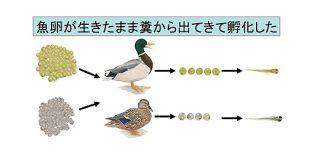 魚卵は鳥に食べられても生きたまま糞から出てくると判明!魚は糞によって別の湖に移動していた   ナゾロジー