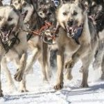 ハスキー犬の先祖はそり犬のルーツ。約1万年前からシベリアで犬ぞりを引いていた|カラパイア